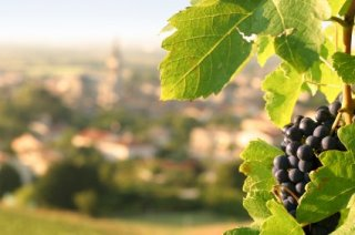 french_vineyard