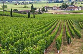 vinogradnik-vo-francii
