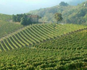vineyards_piemonte