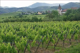 vineyard-alsatian