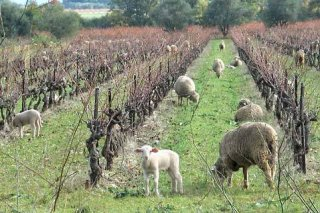 bandol_vineyards