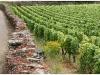 burgundy-vin